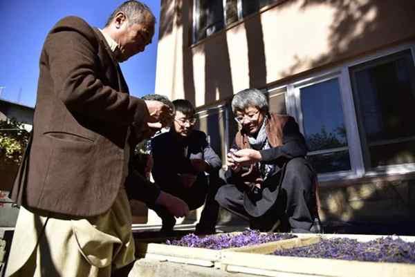 کاشت گلخانه ای زعفران در افغانستان