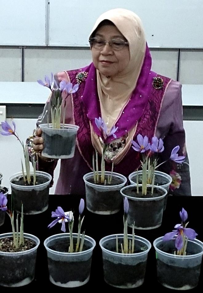 کاشت زعفران در مالزی