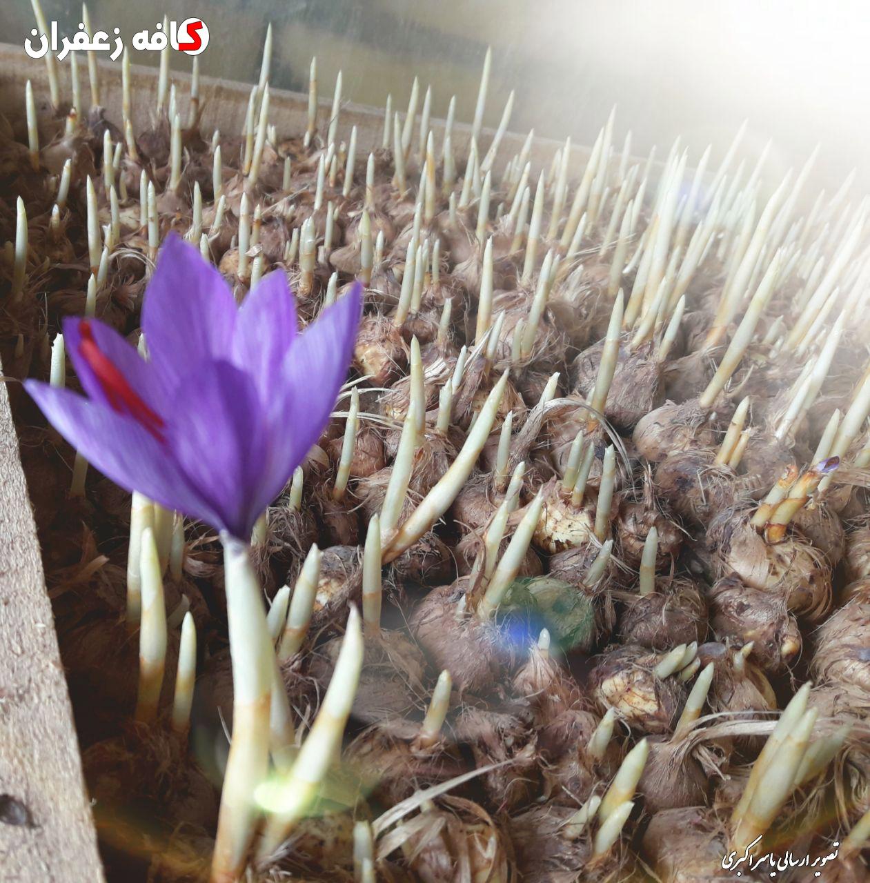 کاشت گلخانه ای زعفران