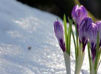 ارزیابی تنش یخبندان بر رشد و عملکرد زعفران در مناطق زعفران خیز خراسان