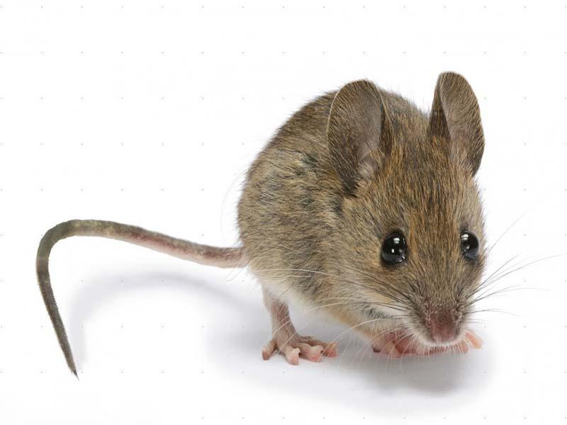 مقابله با موش ها در مزارع زعفران