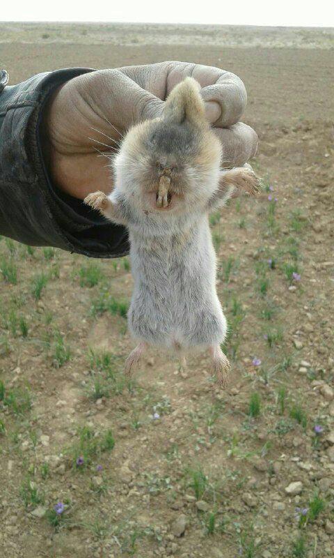 موش کور در مزارع زعفران