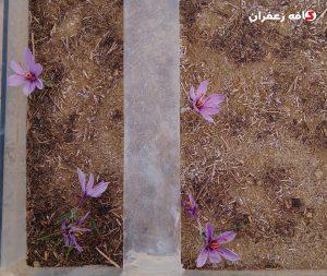کاشت زعفران در گلدان