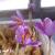 کشت ایروپونیک زعفران ، آموزش کشت گلخانه ای زعفران