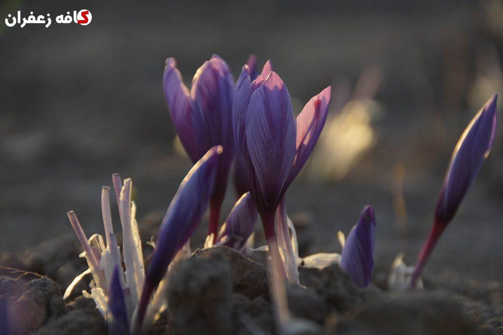 غنچه گل زعفران