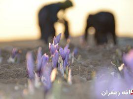 آموزش نحوه صحیح چیدن گل های زعفران
