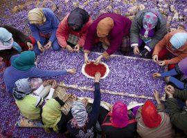 مستند آموزشی زعفران طلای سرخ (بیست قسمت )