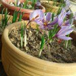 زعفران در گلدان