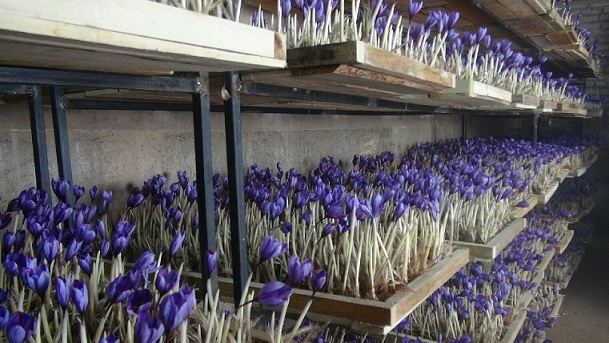 کاشت زعفران در گلخانه