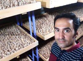 کاشت زعفران در گلخانه از زبان حمید حاتمی نژاد + پادکست