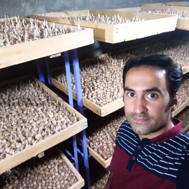 کاشت زعفران در گلخانه توسط حمید حاتمی نژاد