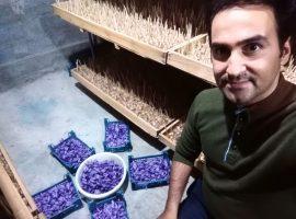 آموزش کاشت زعفران در گلخانه ، پکیج کامل به صورت کاملا عملی