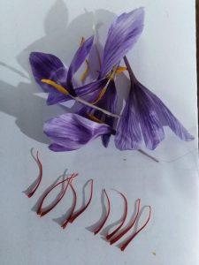 آموزش کاشت زعفران در گلخانه